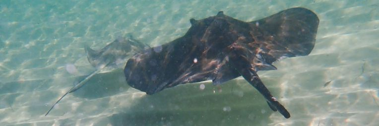Two Southern stingrays cruising by.
